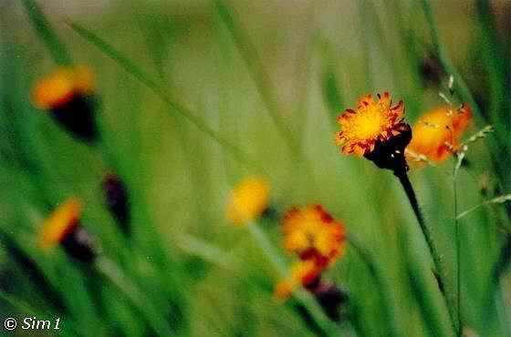 Wildflower 'Devil's Paint Bush'