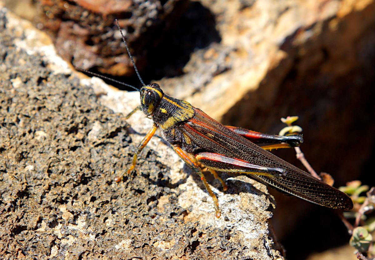 Large Painted Locust on Isla Bartolome