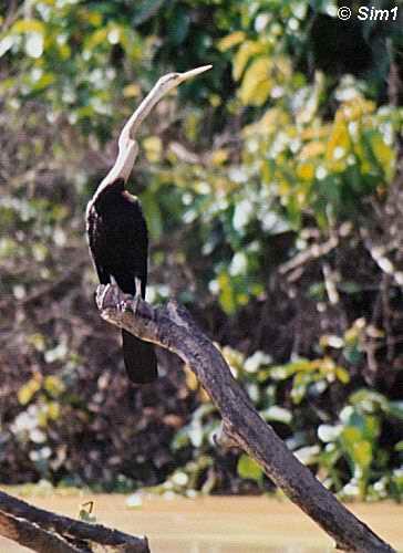 Snake Bird at Oxbow Lake