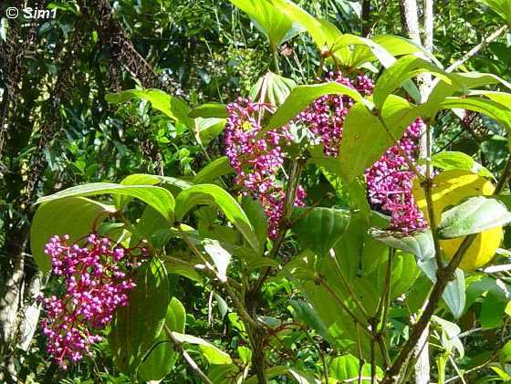 Melastomataceae (Medinilla Speciosa)