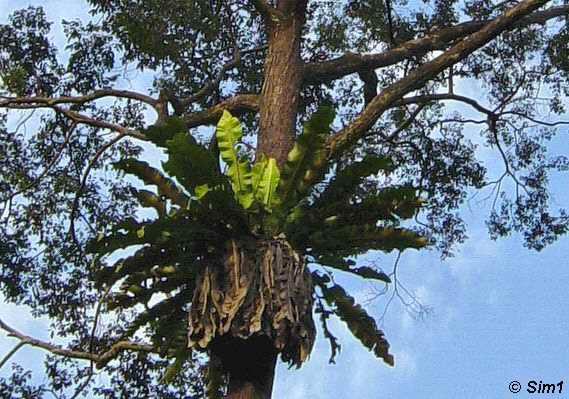 Birds Nest Fern