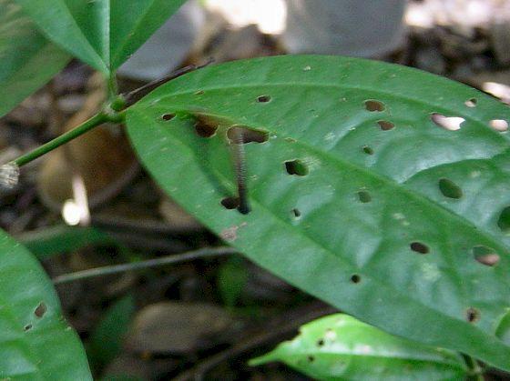 Tiger Leech on a leaf