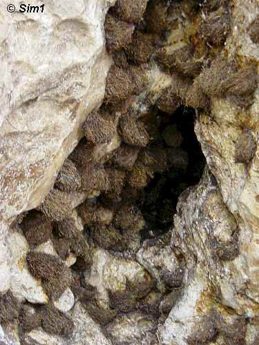 Swiftlet nests