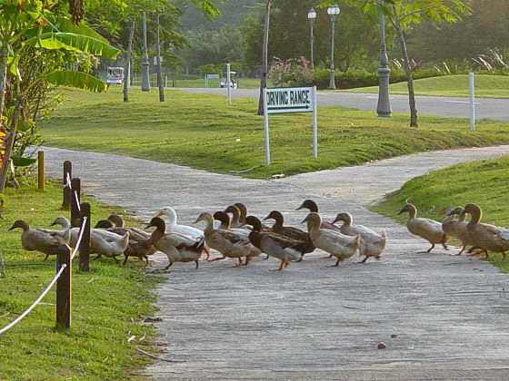 Ducks have the right of way :-))