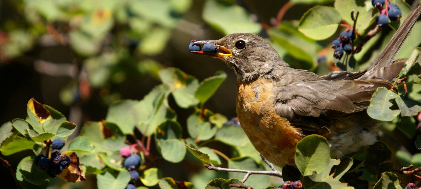 American Robin eating berries, Glacier National Park