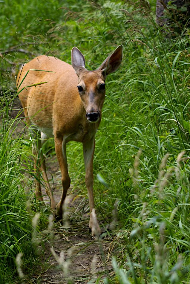 Deer at Grinnell Lake, Glacier National Park