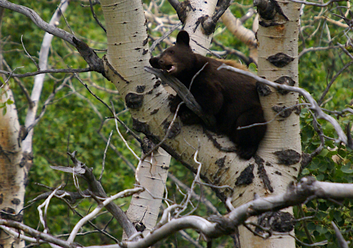 Bear cub high up in a tree in Glacier National Park
