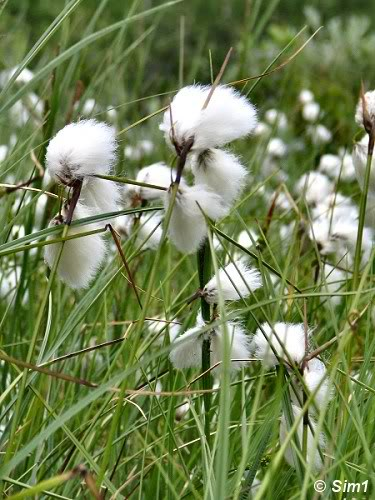 Sim1travels Cottongrass