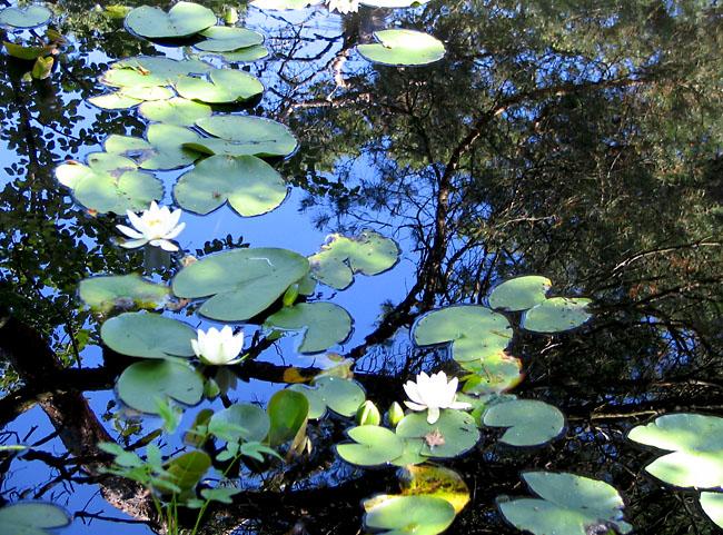 Waterlilly pond Marstrand