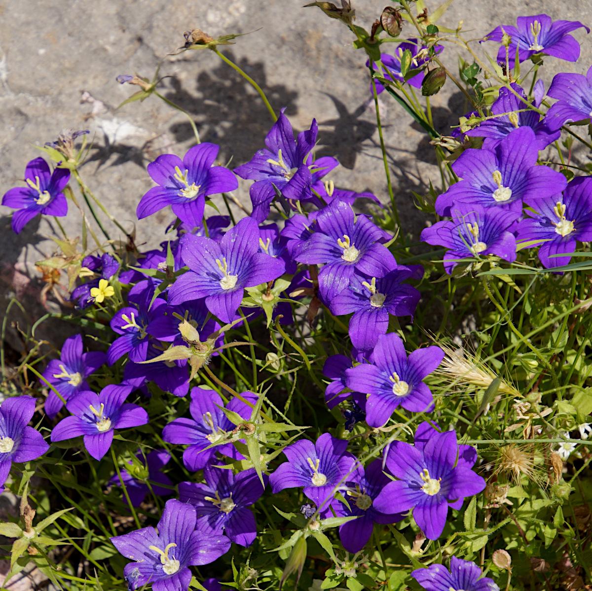 Wildflowers, Kotor