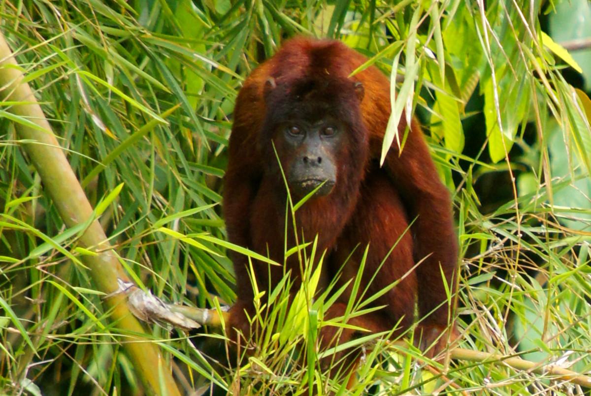Red Howler Monkey, Manú National Park
