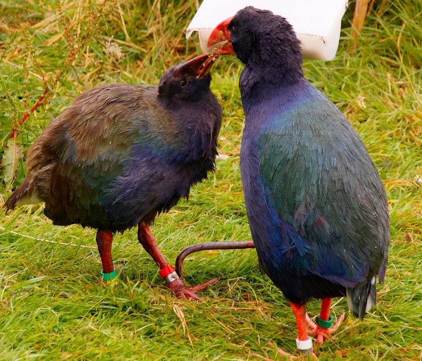 The Takahe at Te Anau Bird Sanctuary