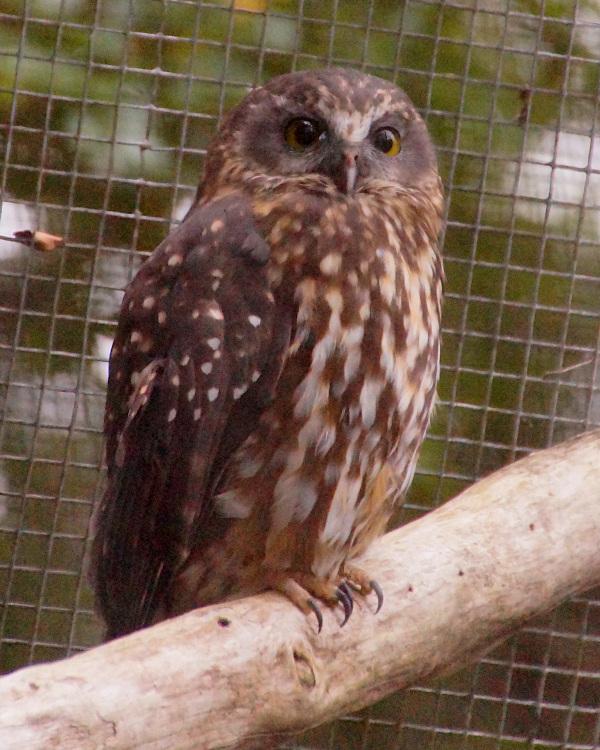 Morepork at Te Anau Bird Sanctuary