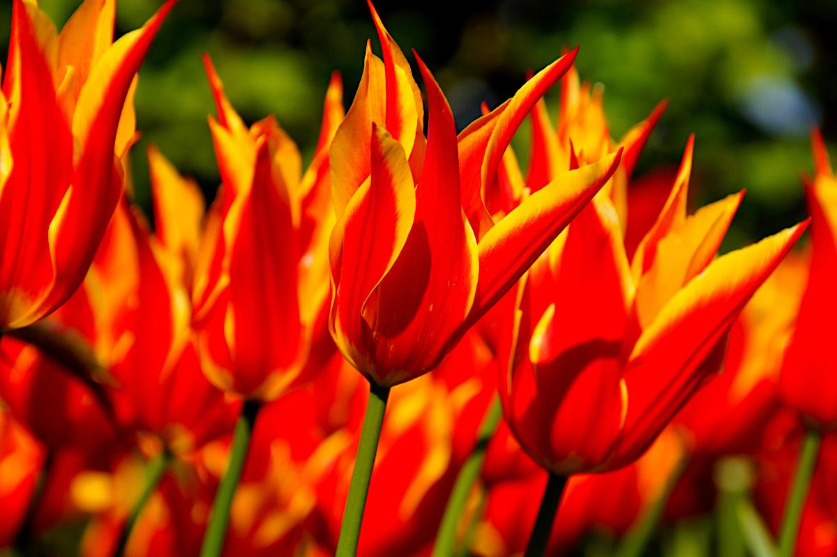 Tulip Fly Away