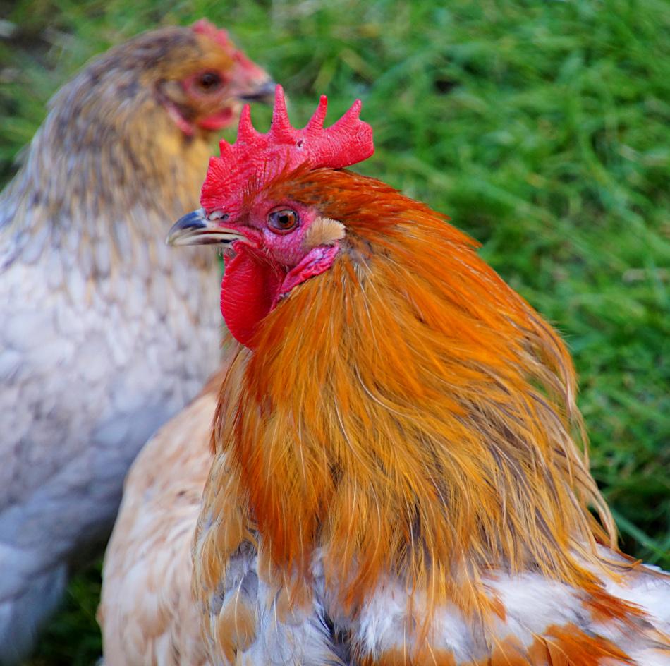 Chickens, Vallby