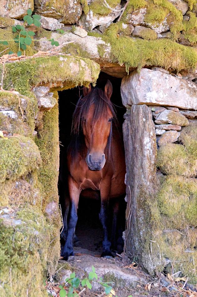 Garrano horse in Branda de Santo António
