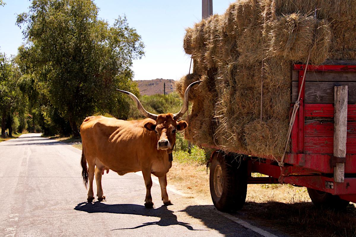 Cachena cow
