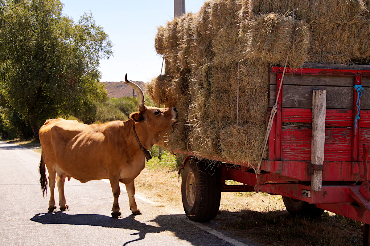 Cachena cow eating hay
