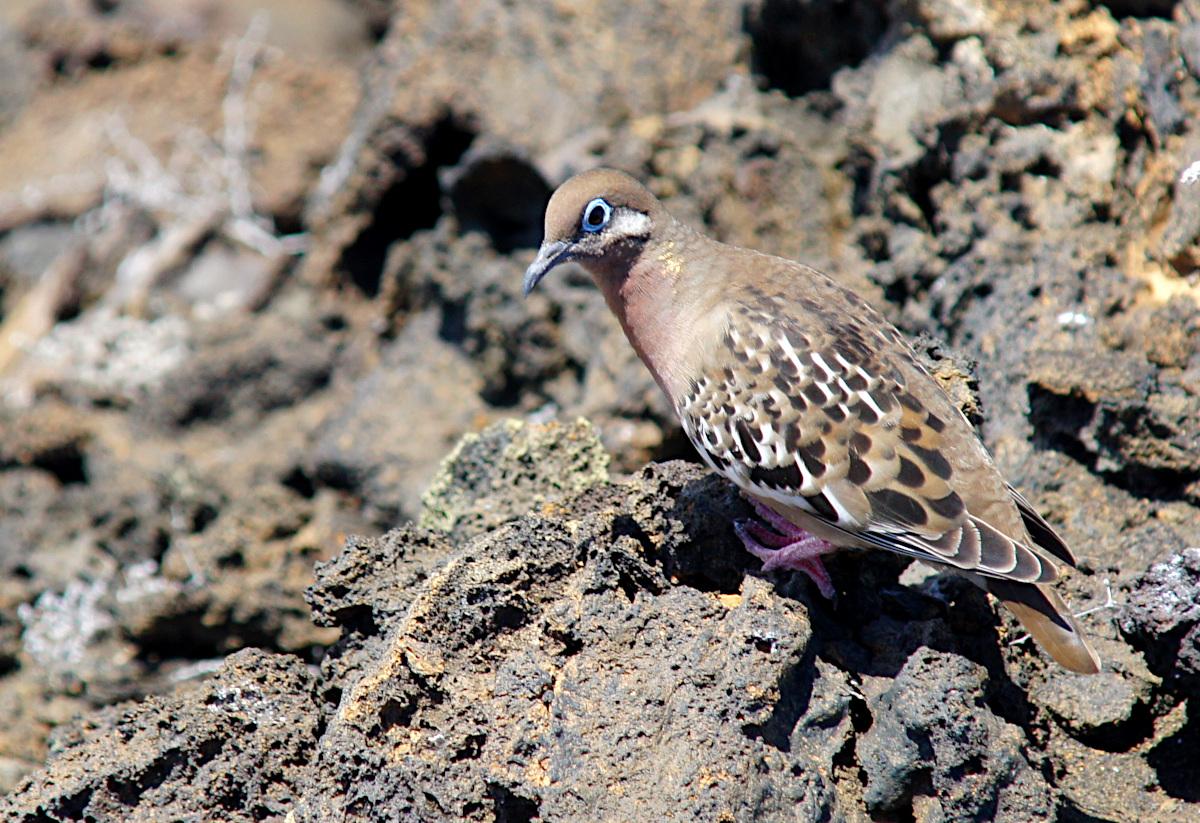 The Galápagos dove