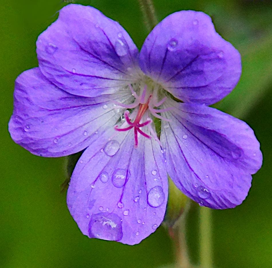 Flowers Nipfjället