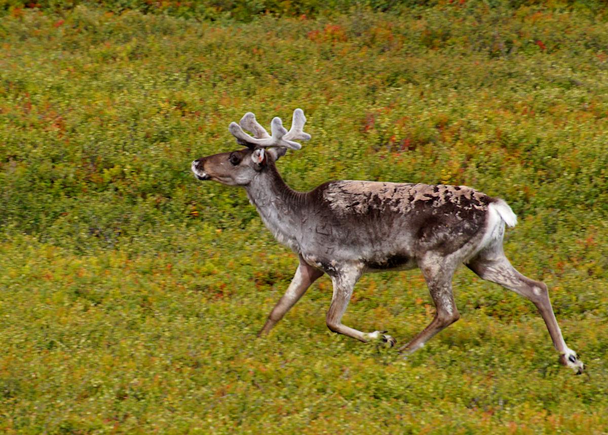 Reindeer Nipfjället